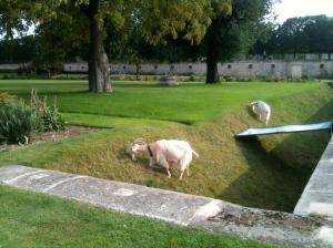 Parisian goats as lawnmowers, Jardin des Tuileries