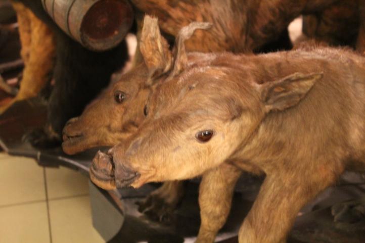 Two-headed Taxidermy, University of Santo Tomas Museum, Manila, Philippines